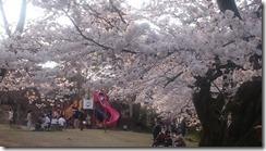 4月16日村松公園1