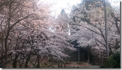 4月16日村松公園2